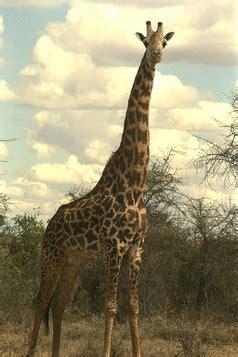heigth of an adult giraffe jpg 238x357